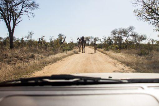 Self Drive no Kruger - Estrada boa de terra com três girafas atravessando e duas dentro dos arbustos.