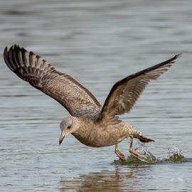 Gull @ Blue Marsh Dam by Jerry Hoffman - Animals Birds (  )
