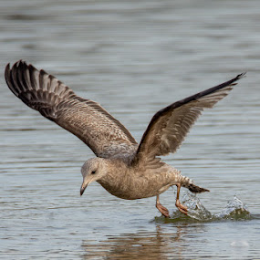Gull @ Blue Marsh Dam by Jerry Hoffman - Animals Birds (  )