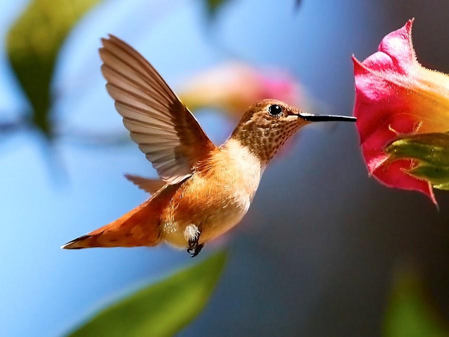 HummerFun ~ 99953~Q by Raphael RaCcoon - Animals Birds