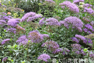 Photo: 拍攝地點: 梅峰-溫帶花卉區 拍攝植物: 夕霧 拍攝日期:2013_09_28_FY