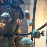 goughs bar and its fish tank with piranhas in Hong Kong in Hong Kong, , Hong Kong SAR
