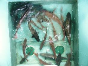 Photo: 真鯛、イサキ、オナガ達です!