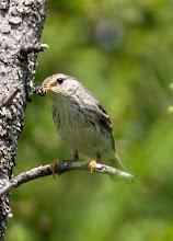 Photo: Female Blackpoll Warbler, Bidgoods Park