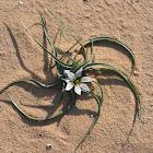 Desert androcymbium