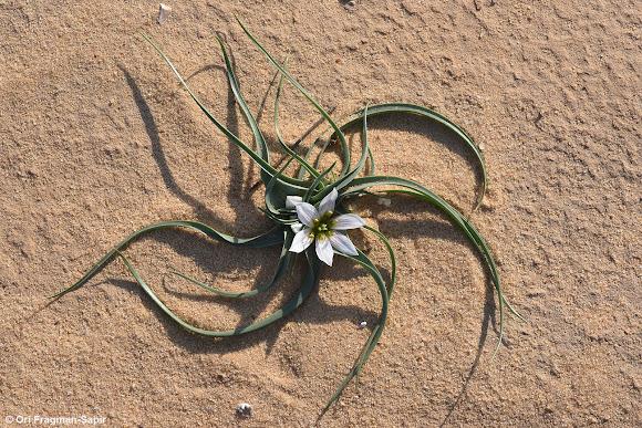 Desert Androcymbium Project Noah