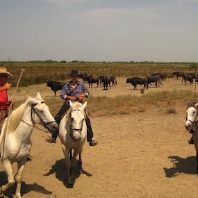 Cowboys @ work by Els He - Animals Horses ( els he, provence, cows, outside, france, elshe, cowboys, horses,  )