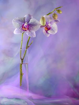 Phalaenopsis  di Marlak