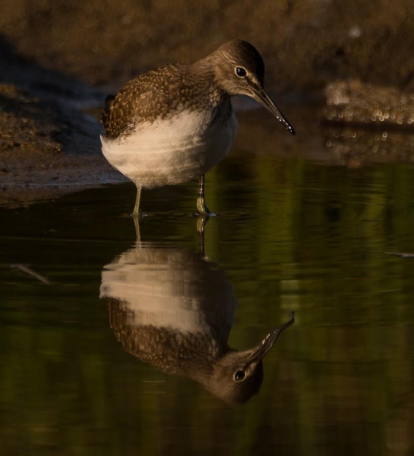 Green sandpiper by Rita Birkeland - Animals Birds ( bird, green sandpiper, sunrise, bird photography, norway, birding,  )