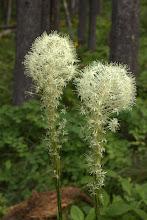 Photo: Bear grass