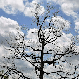 Let me live  by S.  Robert - Landscapes Forests ( tree )