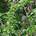 Garcita verdosa (Green heron)