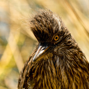 Titicaca bird by Hezi Shohat - Animals Birds ( bird, peru, titicaca )