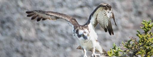 Osprey (Pandion haliaetus), , Quidi Vidi Harbour, St. John's, 2017/08/12