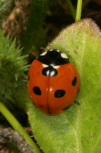 Photo: Coccinella septempunctata (Linnaeus, 1758) - The Seven-spotted Ladybird Beetle, DHG Native to Europe