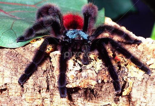 Pink Toe Tarantula Web Antilles Pink Toe Tarantula by
