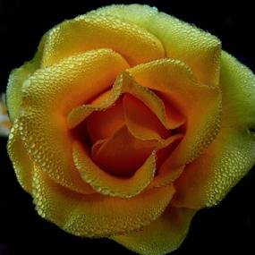 Dew drops on yellow rose by Gautam Tarafder - Flowers Single Flower ( #yellow_rose, #rose, #flower,  )