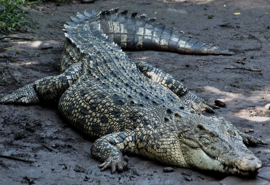 buaya darat, Wild Crocodile by Chairul Akbar - Novices Only Wildlife