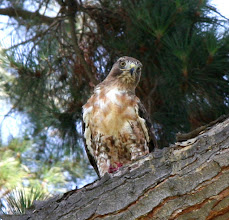 Photo: Red Tailed Hawk that is mid-molt between his juvenile and adult feathering in a tree in a park in Mountain View, CA during Guinea Pig Show.  For about 20 minutes this unwelcome guest was just overhead, eating a small mammal and making the Guinea Pigs very nervous.