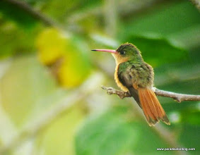 Photo: Cinnamon Hummingbird; Rancho Primavera, outside Tuito, Jalisco