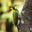 Greater Yellownape Woodpecker