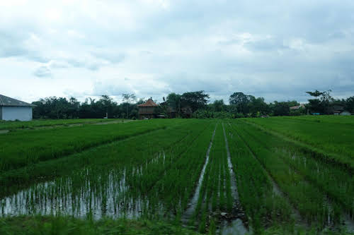 Indonesia. Bali Tegalalang Rice Terraces. Balinese rice fields
