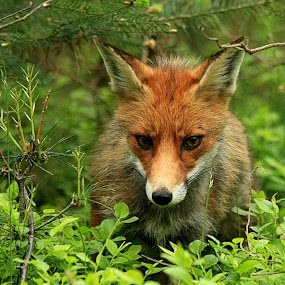 Watching fox by Bob Has - Animals Other Mammals ( looking, fox, watching,  )