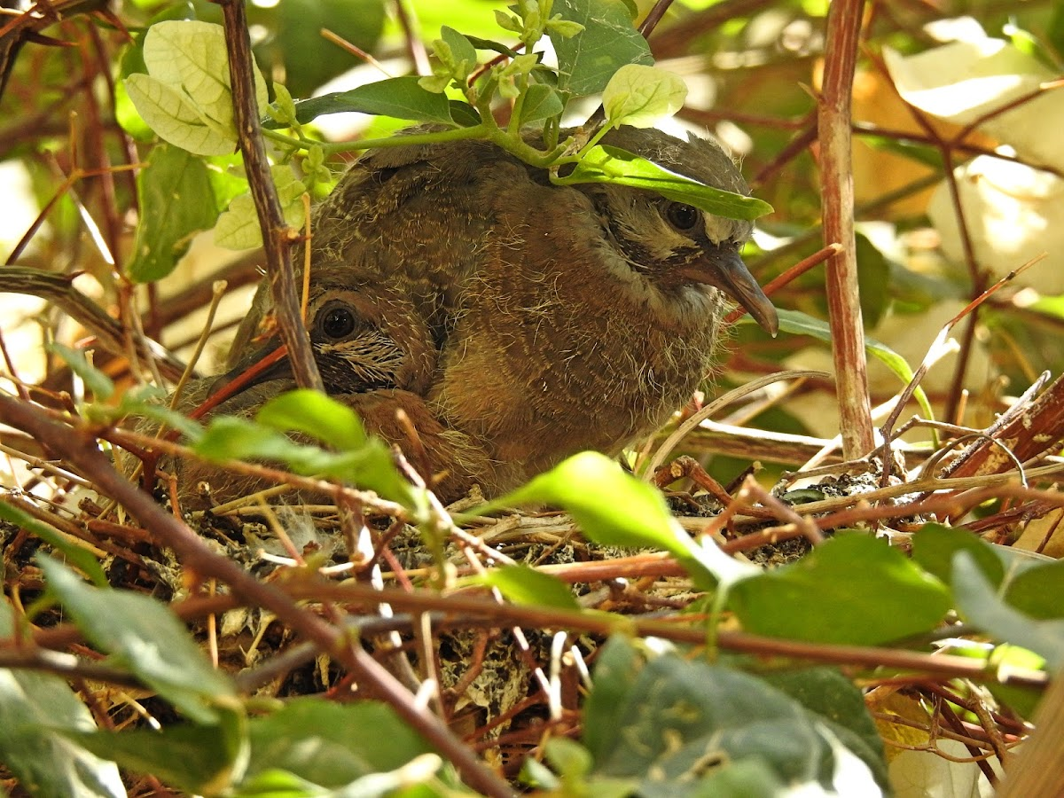 Laughing dove nest