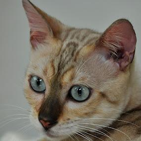 Birdie by Cacang Effendi - Animals - Cats Portraits ( cats, cattery, kitten, chandra, kitty )