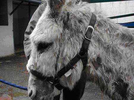 This donkey suffered from a well-defined focal dermatosis that was restricted to its tack contact areas. The condition related to very contaminated and badly cleaned tack and resolved quickly following replacement of the head collar with the one shown here.
