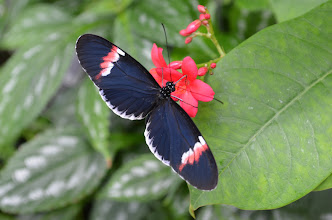 Photo: The Postman butterfly (Heliconius melpomene) -- best know for it's rhythmic fluttering or flying gait that seems like an off-beat drum.