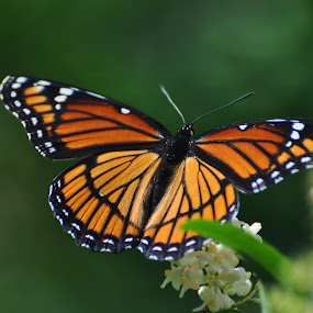 Monarch Butterfly by Viana Santoni-Oliver - Nature Up Close Other Natural Objects ( orange, butterfly, blurry background, monarch, wings, green, antenae, bug, leaf, black )