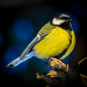 The emperor by Cretu Stefan Daniel - Animals Birds ( wild, tree, blue, birn, tits )