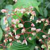 Begonia Cane