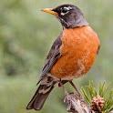 North American Birds Sounds icon