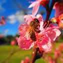 The western honey bee