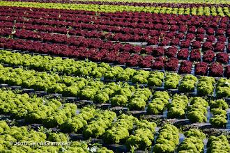 Photo: Salad field in Lier