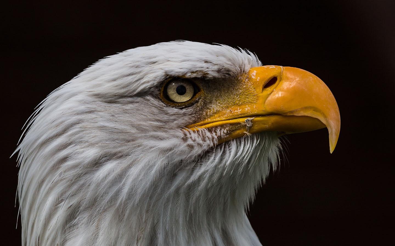 bald eagle wallpaper high resolution