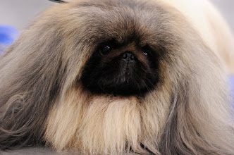 Photo: Pekingese Palalcegarden Malachy, won Best-in-Show at this year's Westminster Kennel Club Dog Show.