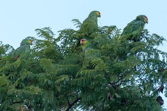 Photo: Red-lored Parrot (Rotstirnamazone); Querétaro, QRO