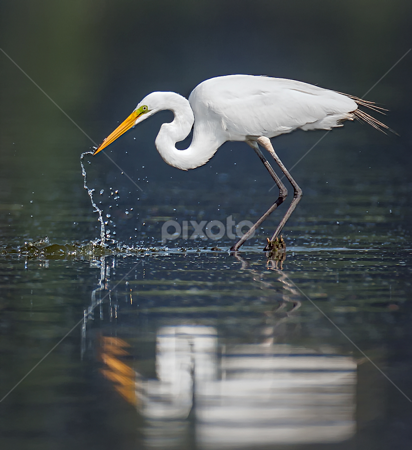 Egret Reflection by Don Holland - Animals Birds