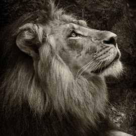 by Stacey Bates - Black & White Animals ( big cat, lion, mane, black and white )