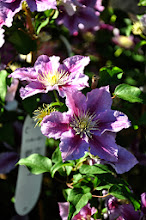 Photo: Clematis 'Piilu'