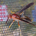 Paper Wasp ♀