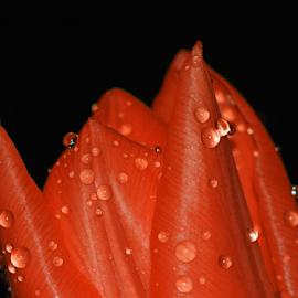 Tulip by Ad Spruijt - Flowers Single Flower