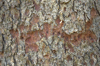 Photo: Mountin pine beetle exit holes in a whitebark pine trunk