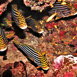 by Phil Bear - Animals Fish ( reef, coral, fish, coral reef, sweetlips, maldives )