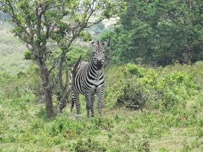 Photo: Zebra