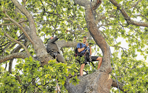 Hannes Breytenbach, 25, tries to stop a tree in Newlands, Cape Town, being felled yesterday