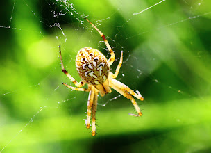 Photo: Neoscona adianta ?  ARACHNIDA > Araneae > Araneidae